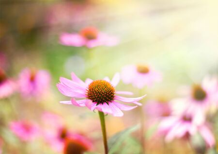 focus on foreground: Red coneflowers or purple coneflowers in the sunlight. Sun and wild spring flowers with copy space. Summer wildflowers with smooth light and sunbeam. Golden light and pink flowers.