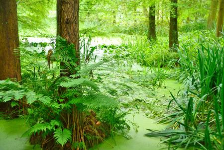 ビッグサイ プレス湿地。池や沼のヒノキの木と。
