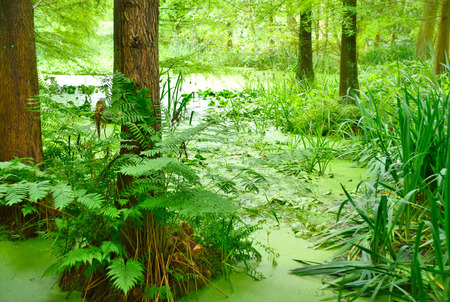 Cypress swamp. Pond or swamp with cypress trees. Banco de Imagens
