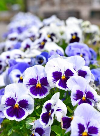 macroshot: Pansies in a flowerbed in springtime. Nature background with selective focus.