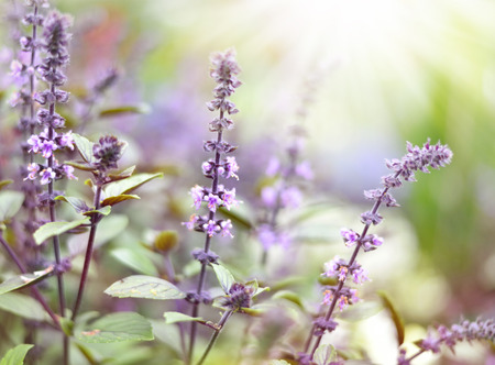 focus on the foreground: Purple dead nettles in the sun. Wildflowers with copyspace and smooth light. Selective focus on the foreground.