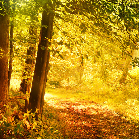 footpath: Autumn forest with vibrant color. Autumn scene with footpath in the woods with copyspace.