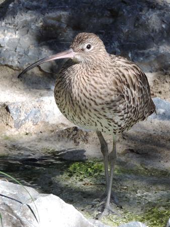 freshwater bird: Wild curlew, freshwater bird.
