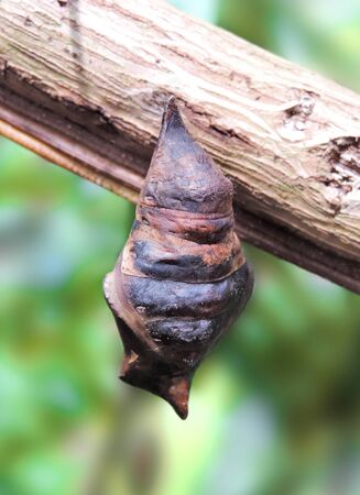 Butterfly cocoon, hanging on a branch Stock Photo
