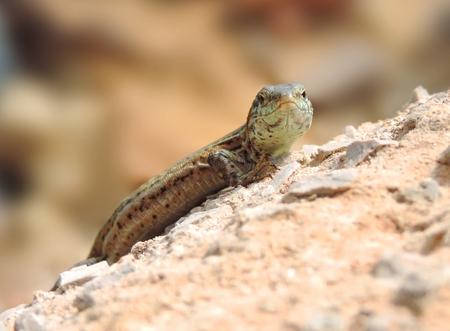 selective focus: Wall lizard, selective focus.