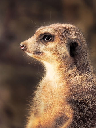 suricate: Suricate watching out. Close-up.