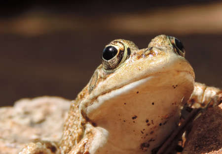 Brown frog or toad, close-up shot.