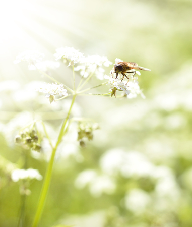 macroshot: Bee or fly on a white flower with copyspace.