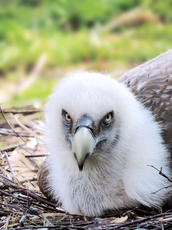nido de pajaros: Buitre en ella hab�a un nido de p�jaro, disparo de primer plano
