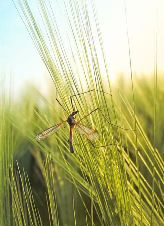 crane fly: Crane fly in a wheatfield Stock Photo