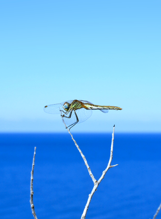 the color image: Dragonfly resting on a branch. Color image with selective focus and sea.