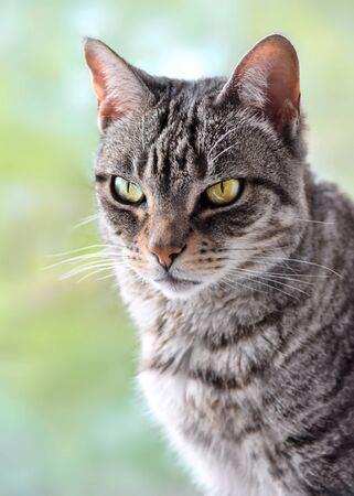 Grey tabby cat sitting at the window with defocused background.