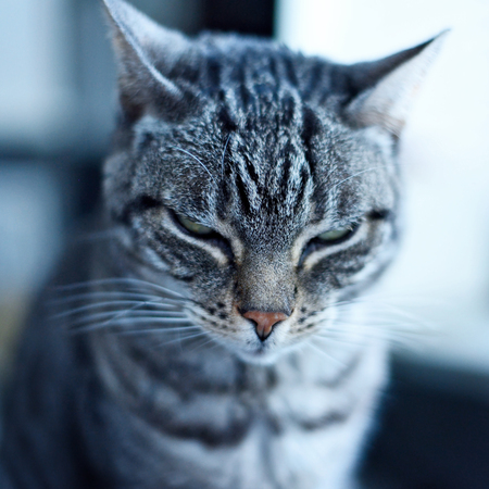 grey tabby: Grey tabby cat sitting at the window with defocused background.
