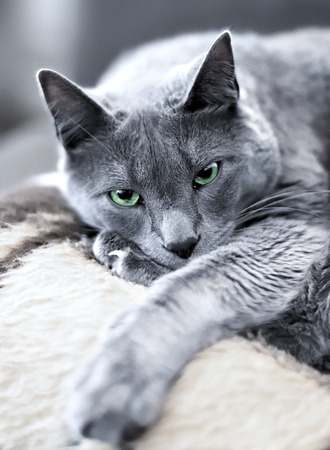 russian blue: russian blue cat lying on the sofa and looking into the camera