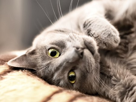 into: russian blue cat lying on the sofa and looking into the camera
