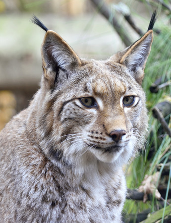 bobcat: Wild lynx or bobcat in the forest. Close-up shot. Stock Photo