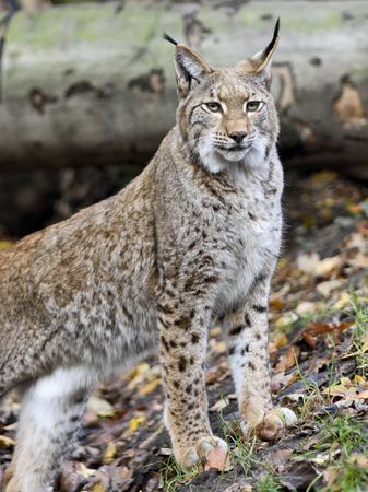 lince rojo: Wild lynx or bobcat in the forest. Close-up shot. Foto de archivo