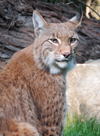 Wild lynx or bobcat in the forest. Close-up shot. Stock Photo