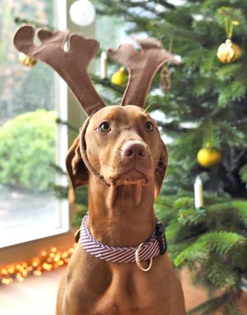 cute dog with reindeer antlers. Viszla on christmas. Stock Photo