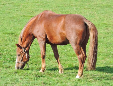 paddock: Brown horse eating grass on a paddock. Stock Photo