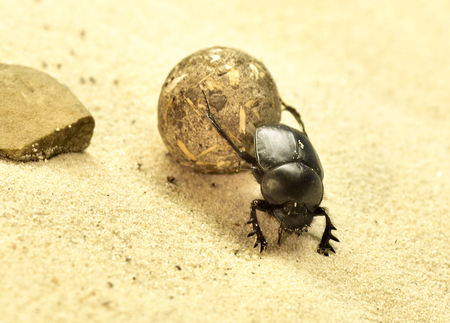 scarab: Scarab beetle on a sand dune, close-up shot. Stock Photo