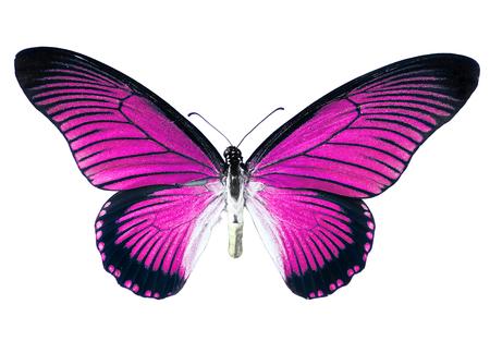 mariposa rosada, aislada en el fondo blanco