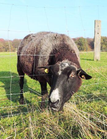 oveja negra: Negro ovejas que comen la hierba a trav�s de una valla. Foto de archivo