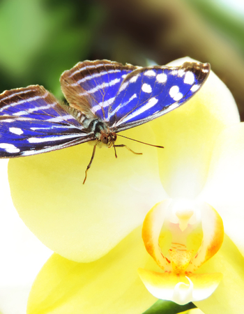 yellow orchid: Blue butterfly resting on a yellow orchid.