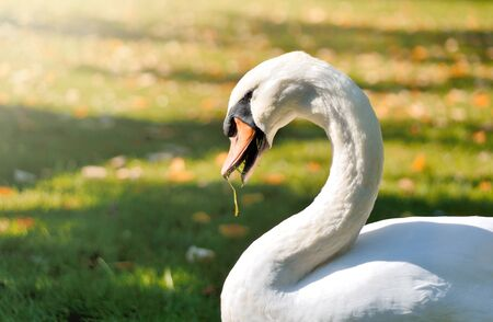 autmn: White swan on to autmn meadow. Stock Photo