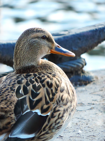 Female mallard duck sitting on a lake.
