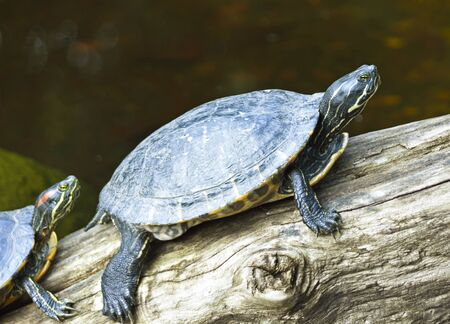 aquatic reptile: Water turtle sitting on a branch in a pond
