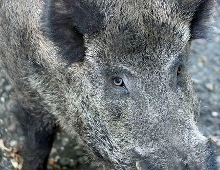 animal shot: Wild boar, wild animal close-up shot.
