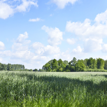 field crop: Spring crop field with forest in the background. Stock Photo
