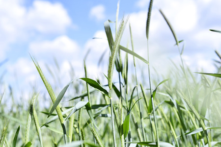 Rye field in the sunlight, selective focus of ear of rye. Stock Photo