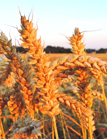 Wheat field in the evening sunlight, selective focus of ear of wheat. Stock Photo