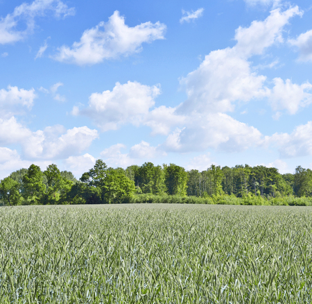 Spring crop field with forest in the background. Stock Photo