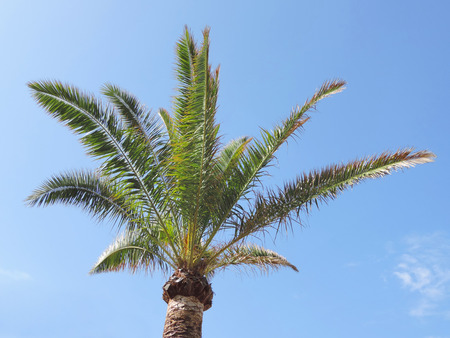 Fan palm tree with clear blue sky. Stock Photo