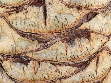 bark palm tree: Bark of a palm tree, close-up shot.