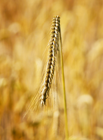 Rye field or crop field with ripe cereal plants in the golden sunlight. Selective focus on the foreground. Stock Photo