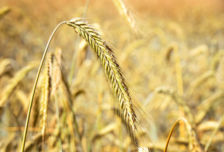 focus on the foreground: Rye field or crop field with ripe cereal plants in the golden sunlight. Selective focus on the foreground. Stock Photo