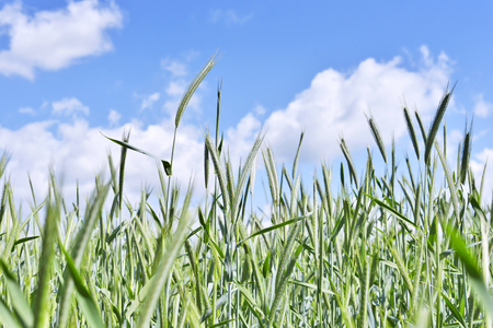 field crop: Rye field or crop field in springtime with green ears of rye and selective focus.