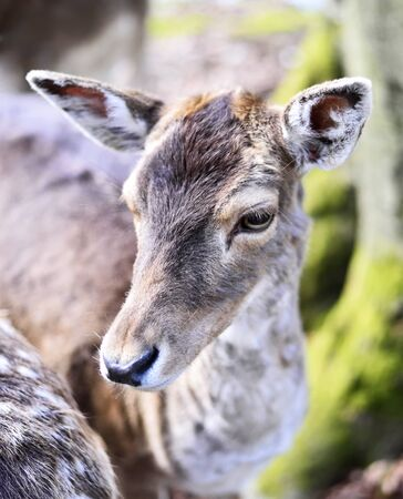mule deer: Close up shot of a wild deer, female whitetail deer in a forest. Animalhead, mule deer.