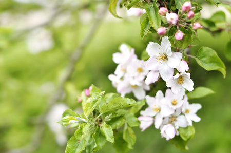 Blooming or blossoming apple tree with white and pink flowers in springtime. Close up shot of apple flowers with copyspace. Nature background, spring background. Stock Photo