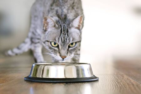 Cute tabby cat eating. Silver bowl, cat feeding scene with selective focus. Eating gray cat.