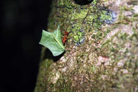 hormiga hoja: Hormiga roja arrastra en un enorme pedazo de hoja Foto de archivo