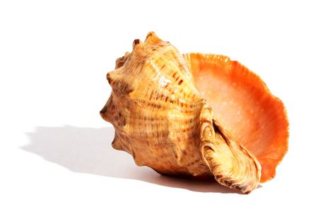 Sea shell with small shadow. photo