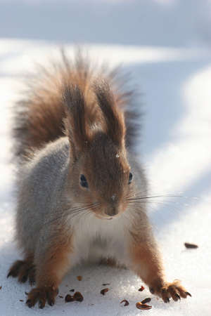 Squirrel on a snow