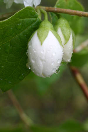 jasmine bud in drops