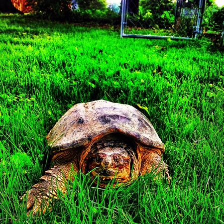 snapping turtle: Indiana snapping turtle.