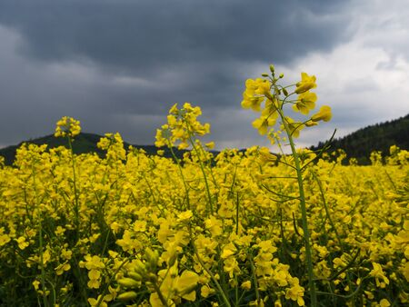 Czech countryside yellow rape field oilseed agriculture rural view landscape